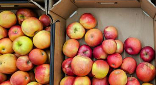 Apples - SelectScience Pesticides & Contaminants special feature 2020