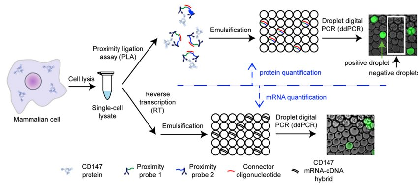 Absolute Quantification of Protein and RNA in a Single Cell