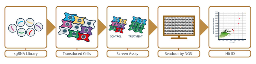 CRISPR screening workflow illustration