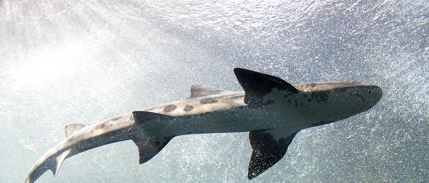 "Darmstadt sharks Geplante ""Shark"