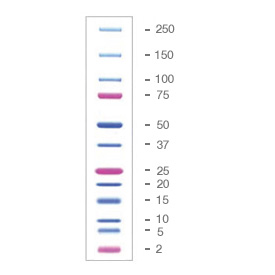 Precision Plus Protein™ Dual Xtra Prestained Protein Standards by Bio-Rad thumbnail