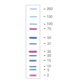 Precision Plus Protein™ Dual Xtra Prestained Protein Standards by Bio-Rad product image