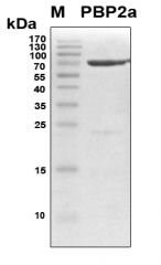 Recombinant S. aureus PBP2a by RayBiotech Inc. product image