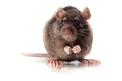 Brown Norway Rat Model by Charles River Laboratories thumbnail