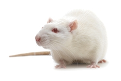 SHRSP Rat by Charles River Laboratories thumbnail
