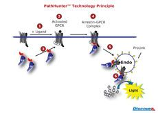 PathHunter® Activated GPCR Endocytosis Assays by DiscoveRx Corporation thumbnail