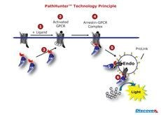 PathHunter® Activated GPCR Endocytosis Assays by DiscoveRx Corporation product image