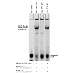 IRDye® 700 Dye-labeled Oligonucleotides for EMSA/Gel Shift Assays by LI-COR Biosciences thumbnail