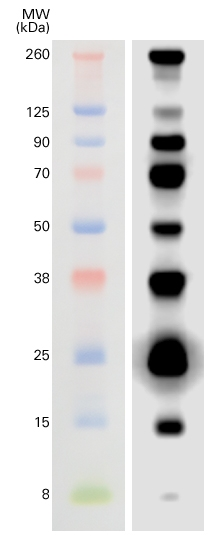 WesternSure® Pre-stained Chemiluminescent Protein Ladder by LI-COR Biosciences thumbnail