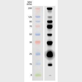 WesternSure® Pre-stained Chemiluminescent Protein Ladder by LI-COR Biosciences product image