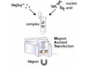 MATra Starter Set 5: Test Set for Magnet Assisted siRNA Transfection