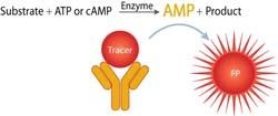 Transcreener® AMP/GMP Assay