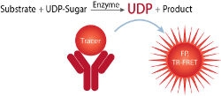 Transcreener® UDP² Glycosyltransferase Assays by BellBrook Labs thumbnail