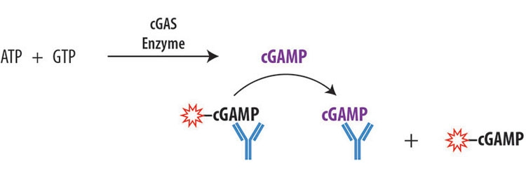 Transcreener<sup>®</sup> cGAMP cGAS Assay by BellBrook Labs thumbnail