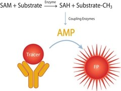 TRANSCREENER® EPIGEN SAH Methyltransferase Assay