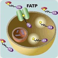 QBT™ Fatty Acid Uptake Assay Kit by Molecular Devices® product image