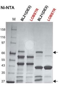 LOBSTR E. coli Expression Strain for One-step Purification by Kerafast thumbnail