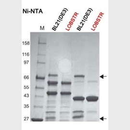 LOBSTR E. coli Expression Strain for One-step Purification by Kerafast product image