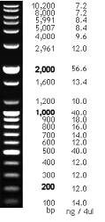 100 bp Plus DNA Ladder, 100 - 10,200 bp, 500 µl (80.7 ng/µl) by Bioneer product image