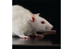 Cox1 Knockout Rat by SAGE Labs product image