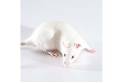 Ldlr Knockout Rat by SAGE Labs thumbnail