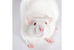 Neuroligin 3 (Nlgn3) Knockout Rat by SAGE Labs product image
