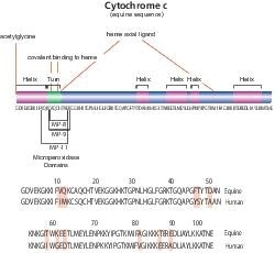 Cytochrome c from equine heart by Merck KGaA, Darmstadt, Germany product image