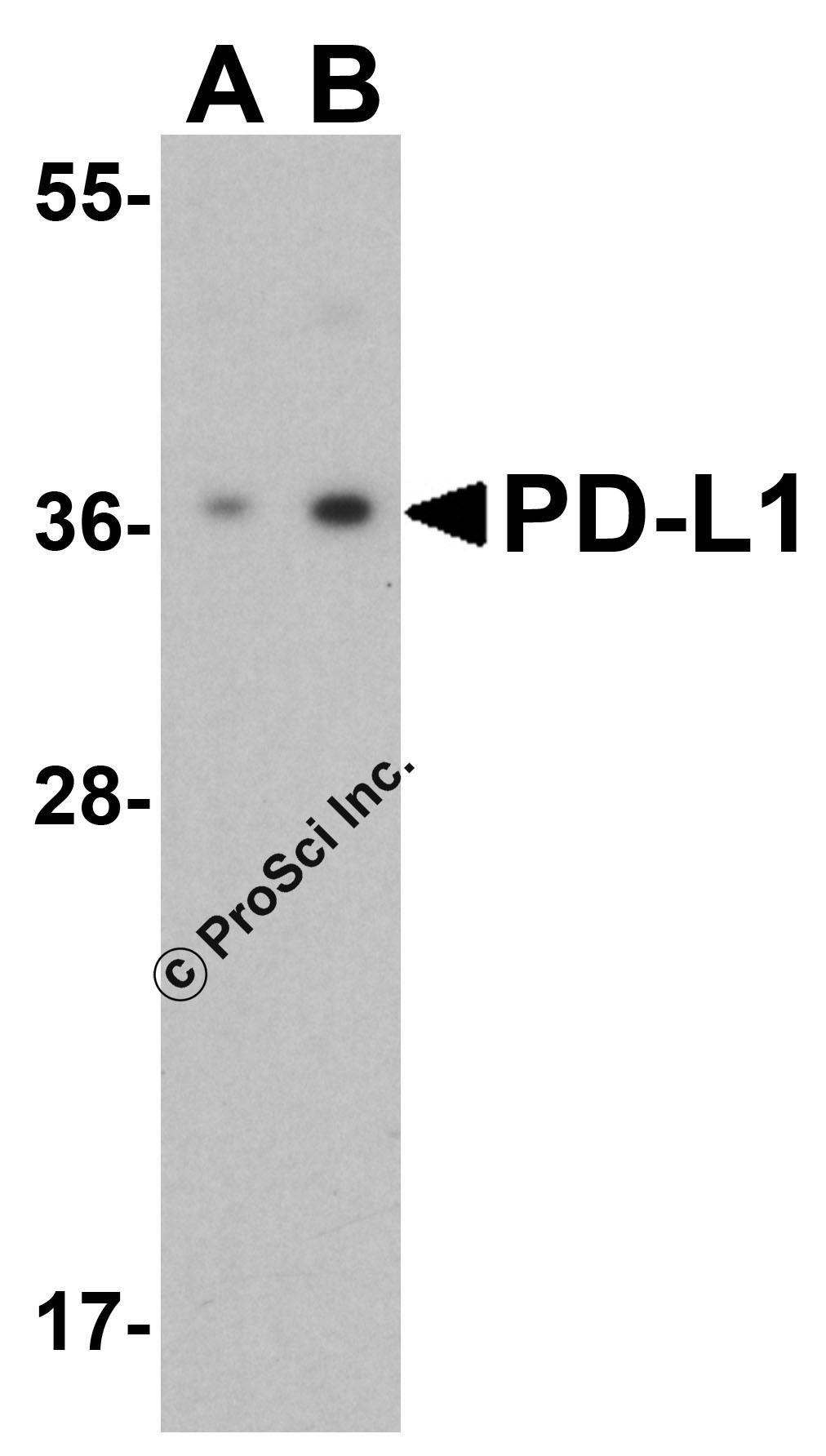 PD-L1 Antibody Antibody by Prosci Inc