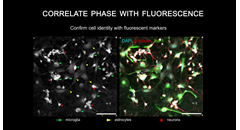 correlate-cell-phase-with-fluorescence-using-the-phasefocus-livecyte
