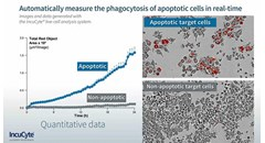 Monitoring Phagocytosis of Apoptotic Cells (Efferocytosis) with IncuCyte Live-Cell Analysis System